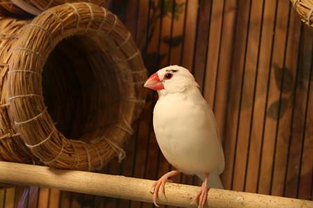 さくら (桜文鳥パイド系♂)