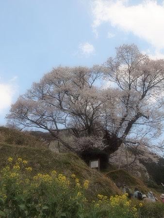 001_仏隆寺(千年桜)