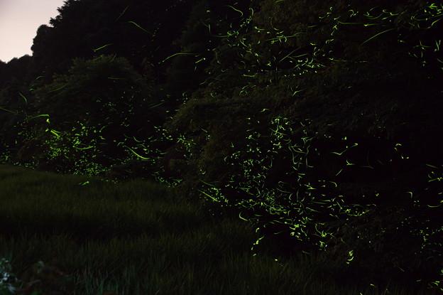 佐賀小城の祇園川のホタル♪?