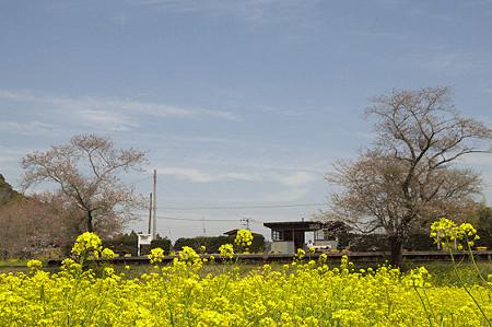 小湊鉄道の菜の花 02