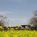 写真: 小湊鉄道の菜の花 02