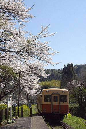小湊鉄道の桜 03
