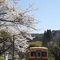 写真: 小湊鉄道の桜 03