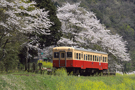 小湊鉄道の桜 05