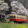 写真: 小湊鉄道の桜 05