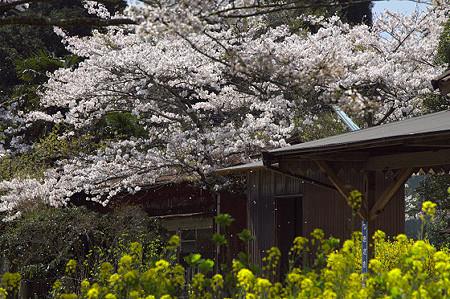 小湊鉄道の桜 07