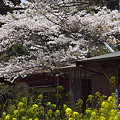 写真: 小湊鉄道の桜 07