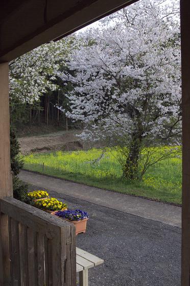 写真: 小湊鉄道の桜 17