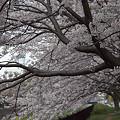 写真: 東戸塚の桜 07