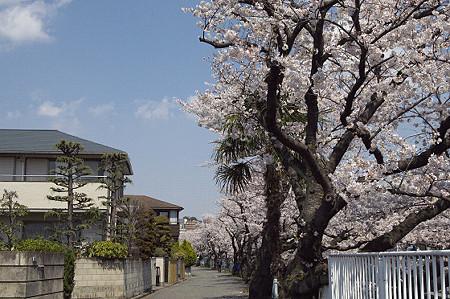 東戸塚の桜 13