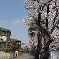 写真: 東戸塚の桜 13