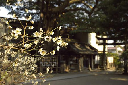 御霊神社の梅