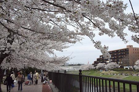 柏尾川の桜 03