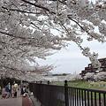 写真: 柏尾川の桜 03
