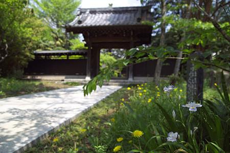 西蓮寺 シャガと山門