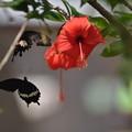 ツーショットのアゲハ蝶(カンボジア)