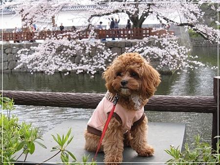 桜とめり~