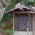 Photos: 桜に包まれる観音様